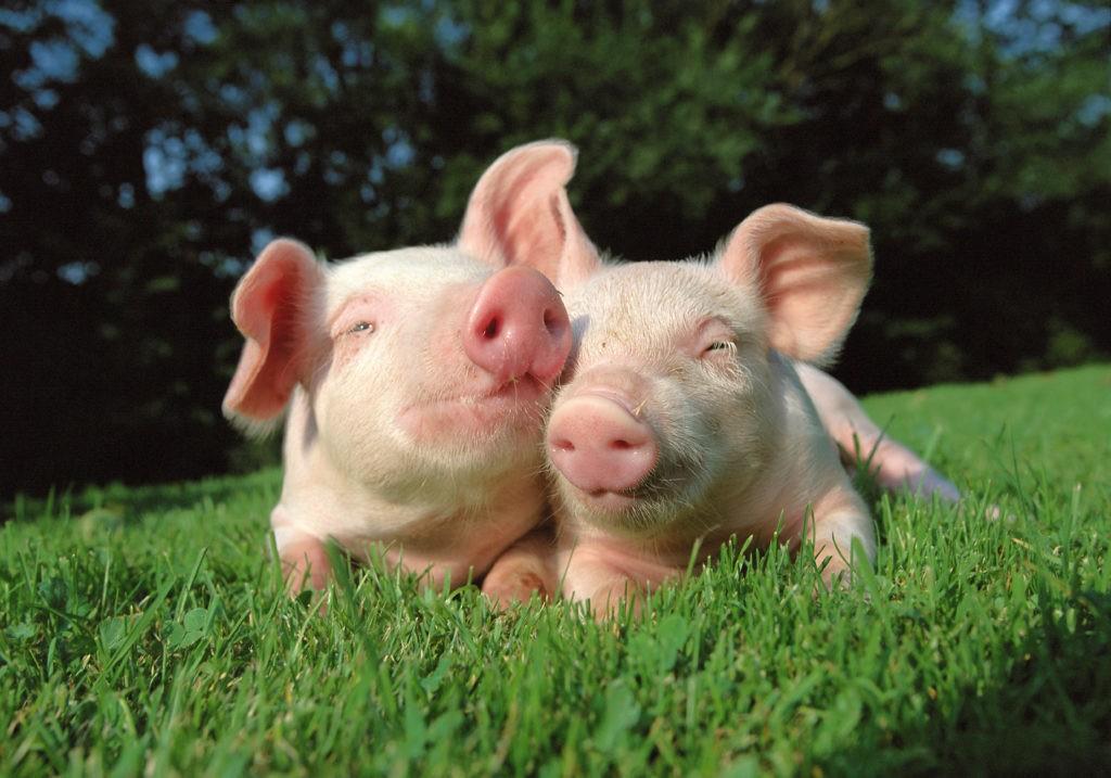 Отзыв сельчанина о покупки свинины в супермаркете